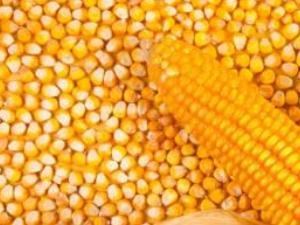 玉米价格恢复性上涨 种植面积有望增加