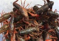 湖北潜江小龙虾带动520亿元大产业